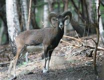 δάσος mufflon Στοκ εικόνες με δικαίωμα ελεύθερης χρήσης