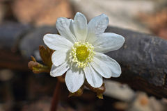 Δάσος nemorosa Anemone την άνοιξη Στοκ φωτογραφία με δικαίωμα ελεύθερης χρήσης