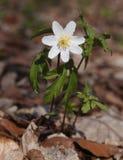 δάσος nemorosa anemone Στοκ εικόνα με δικαίωμα ελεύθερης χρήσης