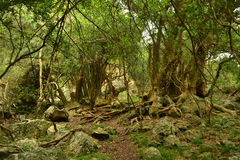 Δάσος Ombu Στοκ εικόνα με δικαίωμα ελεύθερης χρήσης