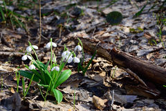 Δάσος plicatus Galanthus Snowdrops την άνοιξη Στοκ φωτογραφίες με δικαίωμα ελεύθερης χρήσης