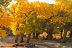 Δάσος Populus Στοκ Φωτογραφίες