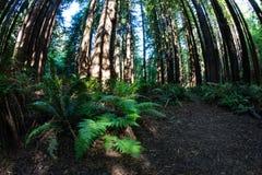 Δάσος Redwood σε Καλιφόρνια Στοκ εικόνα με δικαίωμα ελεύθερης χρήσης