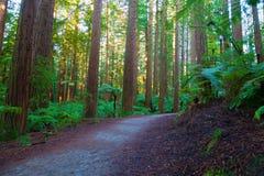 Δάσος Redwoods σε Rotorua στοκ φωτογραφία