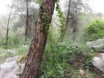 Δάσος Rosh εκτάριο ` ayin στοκ εικόνες