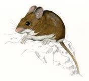 δάσος sylvaticus βράχου ποντικιών ap Στοκ φωτογραφία με δικαίωμα ελεύθερης χρήσης