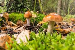 Δάσος toadstools σε ένα τεράστιο δάσος στοκ εικόνες