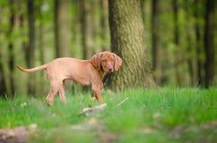 Δέκα εβδομάδων παλαιό κουτάβι του σκυλιού vizsla στον πιό forrest την άνοιξη χρόνο Στοκ εικόνα με δικαίωμα ελεύθερης χρήσης