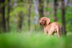 Δέκα εβδομάδων παλαιό κουτάβι του σκυλιού vizsla στον πιό forrest την άνοιξη χρόνο Στοκ Φωτογραφία