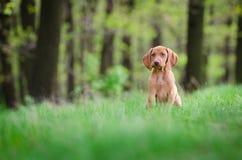 Δέκα εβδομάδων παλαιό κουτάβι του σκυλιού vizsla στον πιό forrest την άνοιξη χρόνο Στοκ Εικόνες