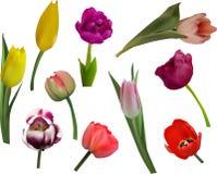 Δέκα λουλούδια τουλιπών χρώματος στο λευκό Στοκ φωτογραφία με δικαίωμα ελεύθερης χρήσης