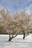 Δέντρα, άνθη, σκιές, και χιόνι της Apple Στοκ Φωτογραφία