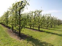δέντρα άνθισης μήλων Στοκ φωτογραφία με δικαίωμα ελεύθερης χρήσης