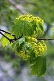 Δέντρα άνοιξη με τα νέα φύλλα Στοκ εικόνα με δικαίωμα ελεύθερης χρήσης