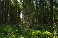 Δέντρα έλατου δασών και Ντάγκλας Pacific Northwest στοκ εικόνες με δικαίωμα ελεύθερης χρήσης