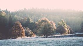 δέντρα έλατου σε ένα λιβάδι κάτω από τη θέληση στο κωνοφόρο δάσος στο fogg στοκ εικόνες