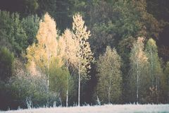 δέντρα έλατου σε ένα λιβάδι κάτω από τη θέληση στο κωνοφόρο δάσος στο fogg στοκ εικόνα