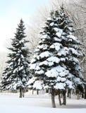 Δέντρα έλατου Χριστουγέννων με τους χιονώδεις κλάδους Στοκ εικόνες με δικαίωμα ελεύθερης χρήσης