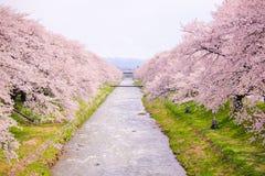 Δέντρα ή sakura ανθών κερασιών κατά μήκος των όχθεων του ποταμού Funakawa στην πόλη Asahi στο Toyama Ιαπωνία Στοκ φωτογραφίες με δικαίωμα ελεύθερης χρήσης