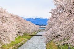 Δέντρα ή sakura ανθών κερασιών κατά μήκος των όχθεων του ποταμού Funakawa Στοκ Φωτογραφίες
