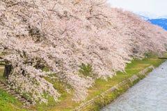 Δέντρα ή sakura ανθών κερασιών κατά μήκος των όχθεων του ποταμού Funakawa Στοκ Εικόνες