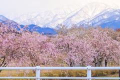 Δέντρα ή sakura ανθών κερασιών κατά μήκος των όχθεων του ποταμού Funakawa Στοκ Φωτογραφία