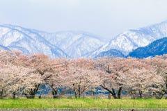 Δέντρα ή sakura ανθών κερασιών με το ιαπωνικό βουνό Άλπεων Στοκ Εικόνα