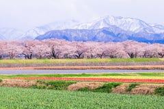 Δέντρα ή sakura ανθών κερασιών με το ιαπωνικό βουνό Άλπεων Στοκ φωτογραφία με δικαίωμα ελεύθερης χρήσης