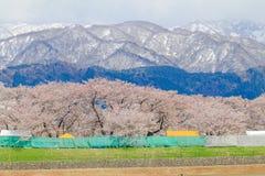 Δέντρα ή sakura ανθών κερασιών με το ιαπωνικό βουνό Άλπεων Στοκ Φωτογραφία