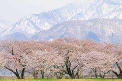 Δέντρα ή sakura ανθών κερασιών με το ιαπωνικό βουνό Άλπεων Στοκ Εικόνες