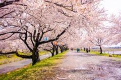 Δέντρα ή sakura ανθών κερασιών στην πόλη Asahi, δημόσιες σχέσεις του Toyama Στοκ φωτογραφία με δικαίωμα ελεύθερης χρήσης