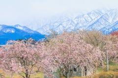 Δέντρα ή sakura ανθών κερασιών στην πόλη Asahi, δημόσιες σχέσεις του Toyama Στοκ Εικόνες