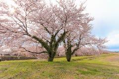 Δέντρα ή sakura ανθών κερασιών στην πόλη Asahi Στοκ Εικόνες