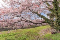 Δέντρα ή sakura ανθών κερασιών στην πόλη Asahi Στοκ Φωτογραφία