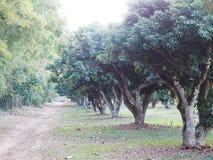 Δέντρα λίτσι στο αγρόκτημα Οπωρώνας Lychee Στοκ εικόνα με δικαίωμα ελεύθερης χρήσης