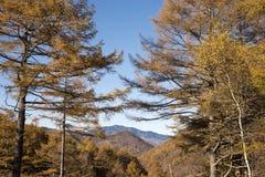 Δέντρα αγριόπευκων φθινοπώρου Στοκ φωτογραφία με δικαίωμα ελεύθερης χρήσης