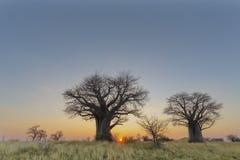 Δέντρα αδανσωνιών και κίτρινη χλόη στο ηλιοβασίλεμα στοκ εικόνες με δικαίωμα ελεύθερης χρήσης