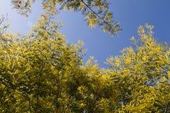 Δέντρα ακακιών στοκ φωτογραφία