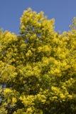 Δέντρα ακακιών στοκ εικόνες