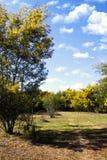 Δέντρα ακακιών στοκ φωτογραφίες