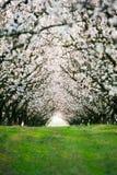 δέντρα ανθών αμυγδάλων Στοκ Φωτογραφίες