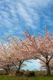 Δέντρα ανθών κερασιών στην προαστιακή κατοικημένη γειτονιά στοκ εικόνα