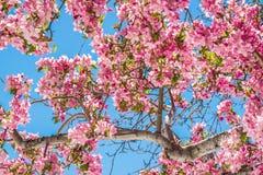 Δέντρα ανθών κερασιών στον κόκκινο ανοιχτό χώρο Κολοράντο Spri φαραγγιών βράχου Στοκ Φωτογραφία