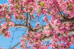 Δέντρα ανθών κερασιών στον κόκκινο ανοιχτό χώρο Κολοράντο Spri φαραγγιών βράχου Στοκ Φωτογραφίες
