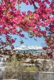 Δέντρα ανθών κερασιών στον κόκκινο ανοιχτό χώρο Κολοράντο Spri φαραγγιών βράχου Στοκ Εικόνες