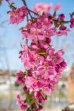 Δέντρα ανθών κερασιών στον κόκκινο ανοιχτό χώρο Κολοράντο Spri φαραγγιών βράχου Στοκ φωτογραφία με δικαίωμα ελεύθερης χρήσης