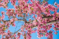 Δέντρα ανθών κερασιών στον κόκκινο ανοιχτό χώρο Κολοράντο Spri φαραγγιών βράχου Στοκ εικόνα με δικαίωμα ελεύθερης χρήσης