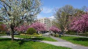 Δέντρα ανθών κερασιών Στοκ Φωτογραφίες