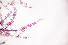 Δέντρα ανθών κερασιών Στοκ φωτογραφία με δικαίωμα ελεύθερης χρήσης