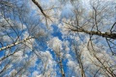 Δέντρα απεικόνιση πέρα από το διάνυσμα δέντρων ουρανού διακλαδίζεται hoarfrost Στοκ Εικόνα